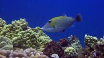 Lei Triggerfish Feeds On Algae Growing On Coral