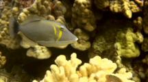 Lei Triggerfish Swims Low In Coral, Looking For Algae