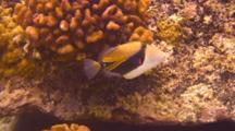 (Reef, Picasso) Trigger Swims, Feeds Shallow Water