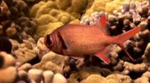 Mempachi(Soldierfish)Stops Close To Hideout, Then Enters