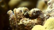 C/U Head Of Devil Scorpionfish