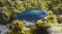 Palenose Parrotfish Feeds On Coral