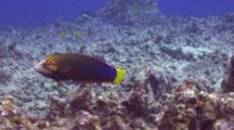 Yellowtail Wrasse Hunting In Coral Rubble