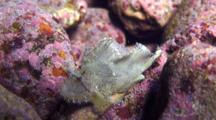 Ivory Colored Scorpion Leaf Fish Moves In Surge