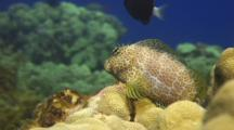 Female Shortbodied Blenny Perched On Lobe Coral