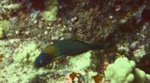 Saddle Wrasse Feeds On Algae On Coral