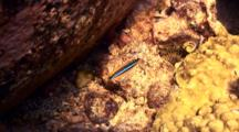 Ewa Fang Blenny Flits Back And Forth
