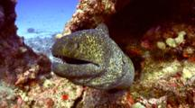 Lg Yellow Margin Moray Gives Evil Eye To Camera