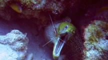 Scarlet Cleaner Shrimp Cleans Mouth Of Undulated Moray