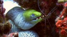 Scarlet Lady Cleaner Shrimp Cleans Undulated Moray