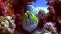 Beautiful Undulated Moray Checks Out Camera