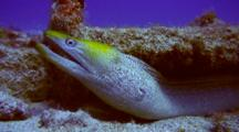 Undulated Moray Sheltered In Old Boat Ladder