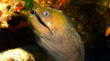 Undulated Moray In Coralhead With Anthias