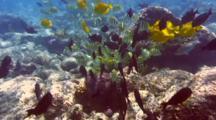 Variety Surgeonfish Feeding In Shallow Water