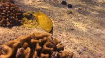Citron Or Lemon Butterfly Eating Algae From Coral