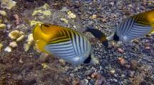 Pr Threadfin Butterflies Hunting On Sandy Bottom