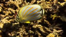 Clown Butterfly Feeding Among Finger Coral