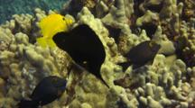 Black Longnose Butterfly Feeds In Finger Coral