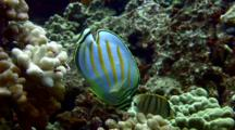 Ornate Butterfly Feeds On Cauliflower Coral Algae