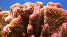 Cauliflower Coral With 2 Hawkfish Perched