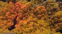Coral Disease Trematodiasis Shown On Porites Coral