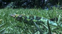 Jacksons Chameleon Walks Slowly Thru Grass