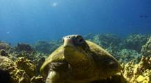 Green Sea Turtle, Missing Front Leg, Rests On Coral