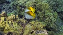 Pr Threadfin Butterflies Feeding On Reef