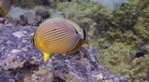 Pr Oval Butterflies Eating Algae On Reef