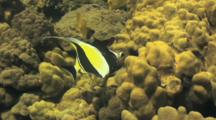 Moorish Idol Using Long Snout To Feed In Coral