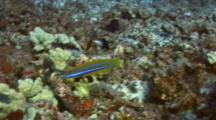 Fang Blenny Flitting Around With Grp Damselfish