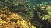 Unicorn Surgeonfish Swims Close By Camera