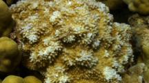 Clump Of Rice Coral