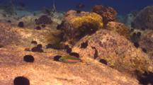 Belted Wrasse Evades Camera In Shallow Water