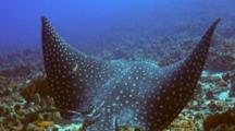 Spotted Eagle Ray Idles Over Cleaning Station, Cleaned By 2 Endemics