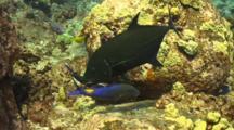 Darkened Blue Trevally And Blue Goatfish Hunt Together