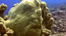 Commersons Frogfish Perched On Coral