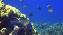 Saddle Wrasse Shadowed By Hawaiian Cleaner Wrasse