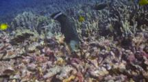 Rockmover Wrasse Slings Chunks Coral Rubble