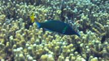 Male Bird Wrasse Hunts In Finger Coral