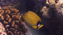 Bluestriped Butterfly Looking To Feed On Cauliflower Coral