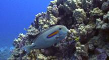 Orangebar Tang Cleaned By Hawaiian Cleaner Wrasse