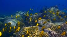 School Yellow Tangs On Early Morning Feed