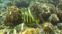Sailfin Tang In Shallow Water, Feeding, Sail Up