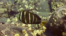 Sailfin Tang Looking For Food In Lava Boulders