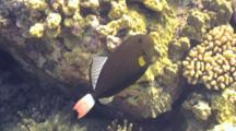 Pinktail Triggerfish Displays Close To Camera