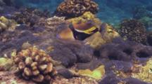 Reef Triggerfish, Shallow Water, Stares At Camera