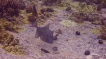 Finescaled Triggerfish Feeds On Sea Urchin