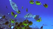 Several Scribble Filefish, Racoon Butterflies Eat Algae