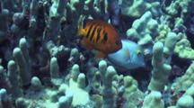 Camera Follows Flame Angelfish Thru Finger Coral Labyrinth